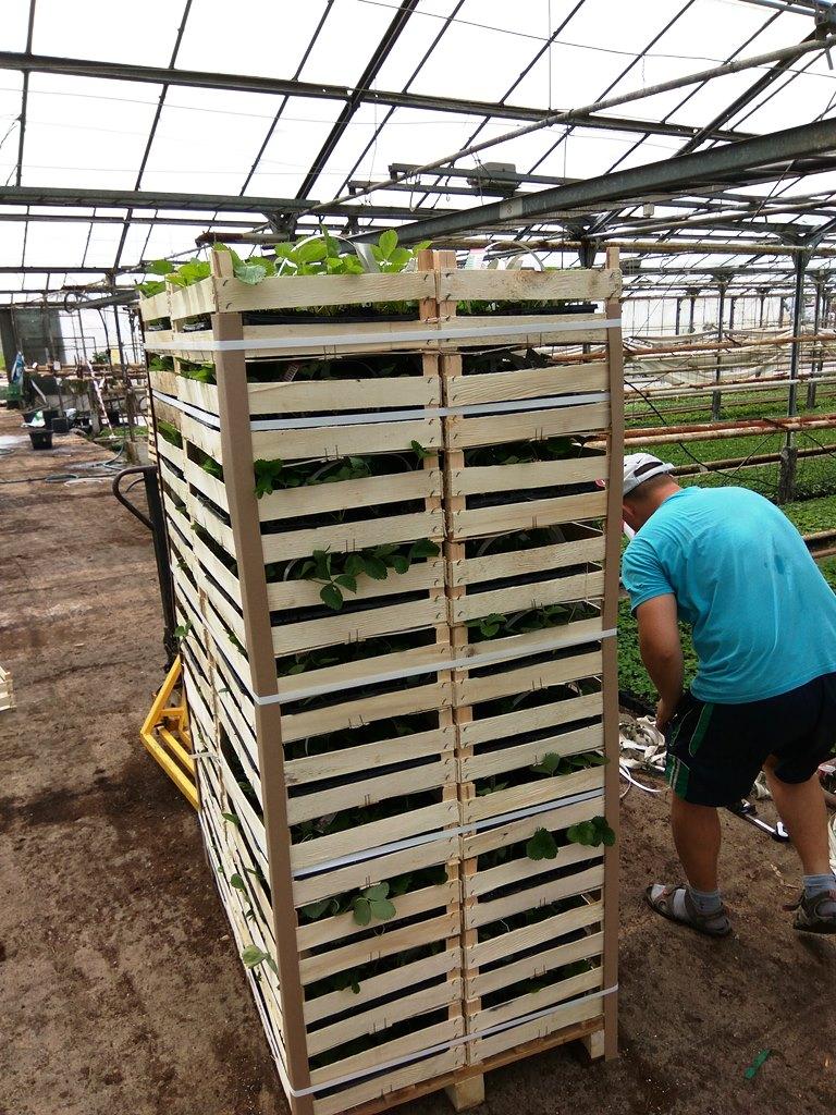 Hersteller von Erdbeerpflanzen