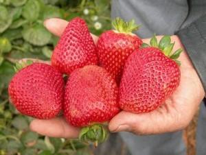 strawberry-j