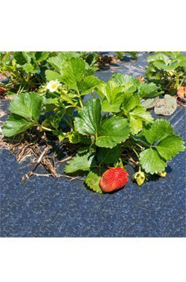 Agrowłóknina do truskawek