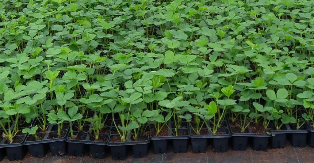 doniczkowane sadzonki truskawek