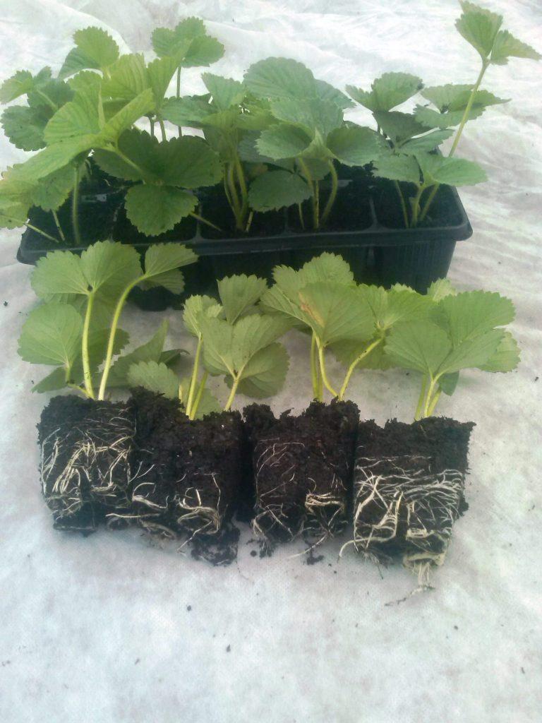 sadzonki truskawek szkółka truskawek