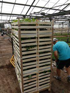 sadzonki truskawek doniczkowanych