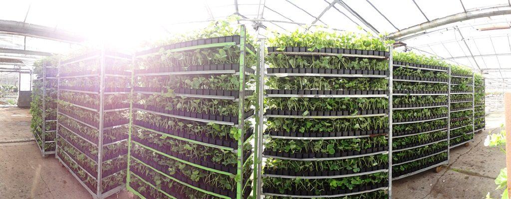 sadzonki truskawek szkółka truskawek producent