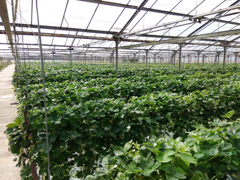 sadzonki truskawek producent