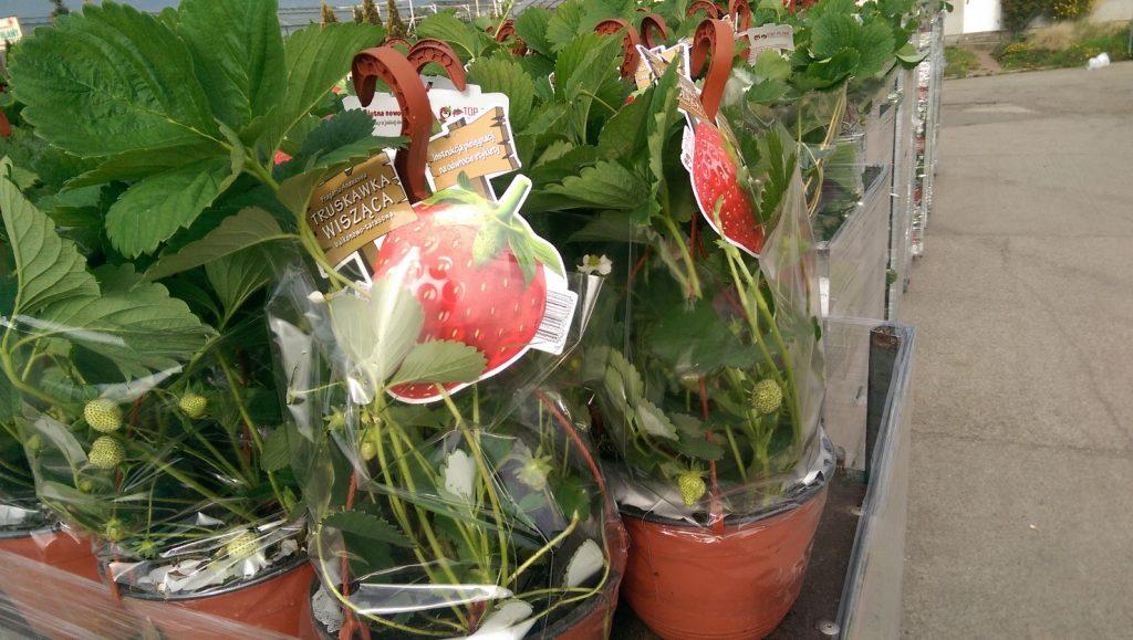 truskawki wiszące