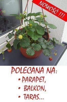 Truskawka na parapet