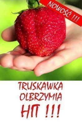 Truskawka Olbrzymia gigant