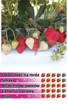 Truskawka Aprica